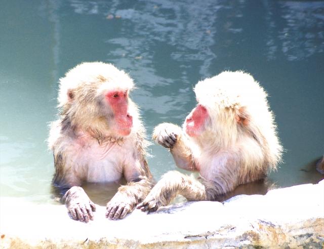 猿が温泉でくつろぐ